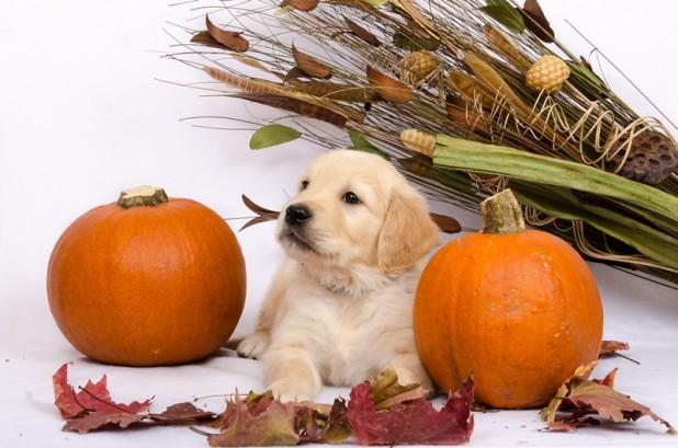 Auksaspalvių retriverių šuniukas