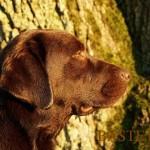Labradoro retriveris De Anrit Dinastiya