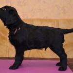 Lygiaplaukių retriverių šuniukai iš retriverių veislyno Basteta - Bordo patinas