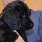 Lygiaplaukių retriverių šuniukai iš retriverių veislyno Basteta - Dark blue patinas