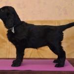Lygiaplaukių retriverių šuniukai iš retriverių veislyno Basteta - Green kalytė