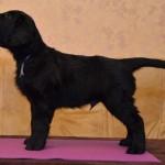 Lygiaplaukių retriverių šuniukai iš retriverių veislyno Basteta - Grey patinas