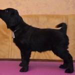 Lygiaplaukių retriverių šuniukai iš retriverių veislyno Basteta - Pink kalytė