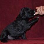 lygiaplaukių retriverių šuniukai 3 savaites