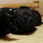 Lygiaplaukių retriverių šuniukai iš retriverių veislyno Basteta