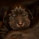 Labradorų retriverių šuniukai