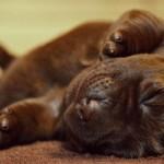 šokoladinių labradorų šuniukai
