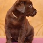 Labradoro šuniukai iš retriverių veislyno Basteta