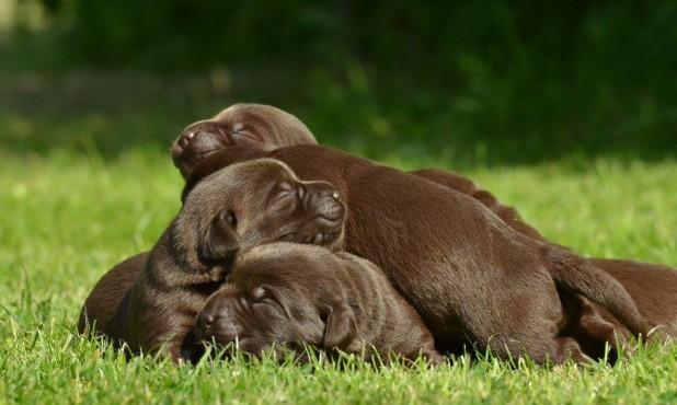 Šokoladinių retriverių šuniukai iš retriverių veislyno BASTETA 2