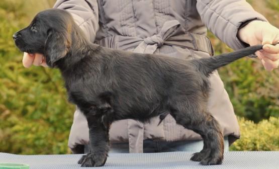 Lygiaplaukių retriverių šuniukai