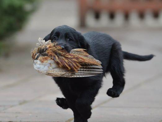 Lygiaplaukių retriverių šuniukai 2