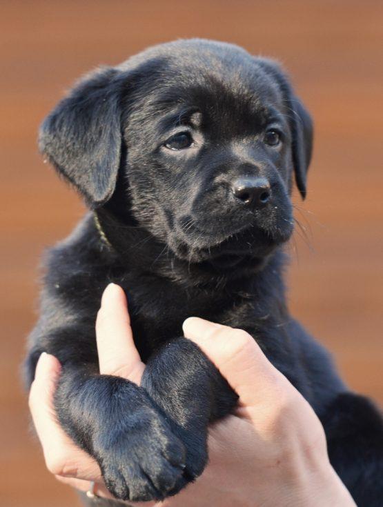 Labradoro šuniukai nuo Foulby Still Talking ir Chicago Ashburn iš retriverių veislyno Basteta